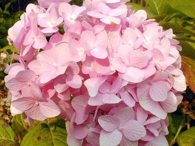 hydrangea macrophylla roze. Black Bedroom Furniture Sets. Home Design Ideas
